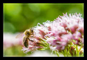 _MG_1901 abeilles www.nicolas-abraham.fr_essai_1©