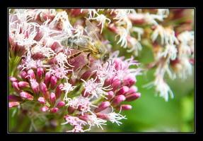 _MG_1874 abeilles www.nicolas-abraham.fr_essai_1©