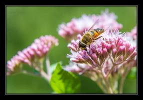 _MG_1886 abeilles www.nicolas-abraham.fr_essai_1©