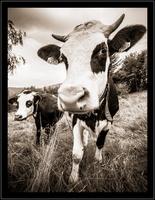 _MG_2113 vache grand angle www.nicolas-abraham.fr_essai_1©